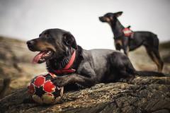 Bosse & Lady (Frank S. Schwabe) Tags: dog dogs kristiansund klubba bosse lady planart1450 zeissclassic ze zeiss canon coast coastal bokeh
