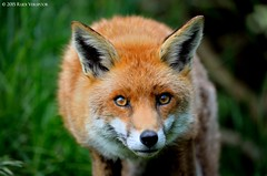 Fox (front portrait) (Rudi Verspoor) Tags: fox animal foxes bwc british wildlife centre red nature telephoto britain ears eyes staring frodo