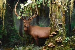 Roosevelt Elk - Olympic National Park (Adventurer Dustin Holmes) Tags: 2018 wondersofwildlife museum rooseveltelk olympicnationalpark elk animal stuffed taxidermy chordata animalia