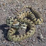 Great Basin Gopher Snake (Pituophis catenifer deserticola) thumbnail