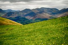 Weeds, so pretty (Tall Guy) Tags: tallguy uk unescoworldheritagesite ldnp lakedistrict skiddaw dandelions cumbria