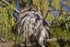 Day time is sleep time (Luke6876) Tags: tawnyfrogmouth frogmouth bird animal wildlife australianwildlife