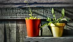 Just the two of us ! (CJS*64) Tags: panasoniclx100 pots plants flower flowers flowerpots colour colours cjs64 craigsunter cjs orange lemon summer grow growing garden mirrorlesscamera mirrorless