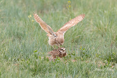 Burrowing Owl mating sequence - 4 of 22