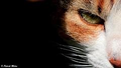 Eye of Tiger (patrick_milan) Tags: eye cat macro animal chat cof29 cof029uki cof029mari cof029suea cof029dmnq cof029chri cof029srin