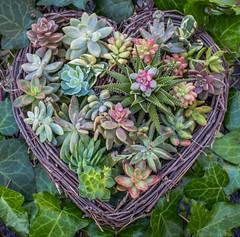 Succulent heart (julesnene) Tags: canon5dmarkiv canonef35mmf14lusmlens juliasumangil succulents backyard flora forprinceharryandmeghanmarkle heart julesnene love ourgarden succulent