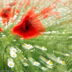 _zOOOOm_ (ewaldmario) Tags: klatschmnohn mohn pamhagen zoomeffekt österreich at poppies d800 zoom klatschmohn margerites naturefineart fine art composition red green white special effect blurr move artificial likeapainting ewaldmario 2470 burgenland meadow field