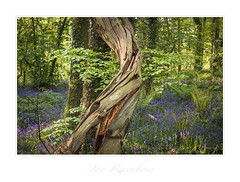 """""""Life Cycles"""" - Cornwall (Joe Rainbow) Tags: flowers joerainbow landscape bluebells branches canopy cornwall foliage nature trees woodland woods"""