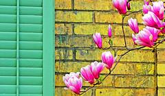 magnolias (DeZ - photolores) Tags: flowers macro architecture building hdr nikon nikone8700 dez design