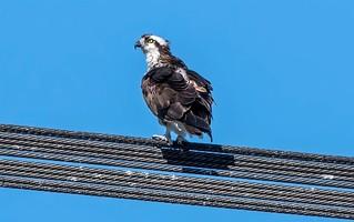 Iroquois Osprey