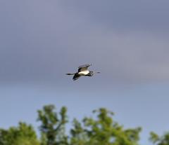05-23-18-0019304 1 (Lake Worth) Tags: animal animals bird birds birdwatcher everglades southflorida feathers florida nature outdoor outdoors waterbirds wetlands wildlife wings