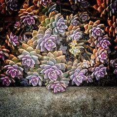Cross the Line (1bluecanoe) Tags: california sandiego control curb plant succulent