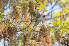 Restless (MerlinCD) Tags: warbler hermit bird flying