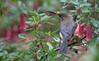 eastern spinebill (Acanthorhynchus tenuirostris)-8678 (rawshorty) Tags: rawshorty birds canberra australia act symonston