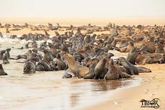 Seals (morbidtibor) Tags: africa namibia coast wildlife seals seal capefurseal pelicanpoint