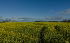 Rape seed in Hittarp (frankmh) Tags: field rape hittarp helsingborg skåne sweden sky farming agriculture landscape