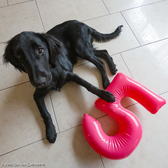 GOPR0804_20180425_115952 (KJvO) Tags: 5maanden flatcoatedretriever pipa puppy questionsflightoneinamillion animal dier dog hond