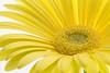 Gerbera Daisy-8377 (gsegelken) Tags: stamen pistil color gerberadaisy flower macro yellow gerberdaisy macrounlimited