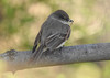 The Builder (Alemap.1) Tags: phoebe bird nest macro portrait branch spring