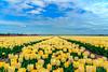 DSCF4917.jpg (brammetje2012) Tags: holland tulpen tulpenroute2018 dutch flevoland wolken fuji nederland tulips flowers yellow bloemen clouds velviasimulation