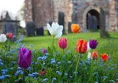 Wadhurst Churchyard  (East Sussex) (Adam Swaine) Tags: tulips church churchyard flora flowers villagechurch villages churches canon gravestones rural ruralchurches britain british spring uk ukvillages seasons sussex eastsussex sussexvillage