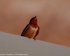 Barn Swallow-3 (jasenhigdon) Tags: barnswallow bird birdphotography wildlifephotography wildlife oklahoma oklahomacity photography canonphtography