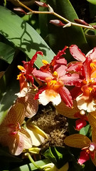 20180324_123214 (jaglazier) Tags: 2018 32418 botanicalgardens bronx copyright2018jamesaferguson greenhouses march newyork newyorkbotanicalgarden newyorkcity orange orchidshow orchidaceae pink red striped usa flowers gardens orchids parks plants yellow bronxcounty unitedstates