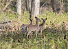 Have a great Month everyone (Bobby18120) Tags: nikon d500 sigma 300mm28 whitetailed deer trail