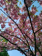 Cherry blossom in Kyiv (vs_bob) Tags: blossom flowers ukraine physics
