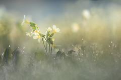 Morning dew (Moni E) Tags: morning light drops water meadow spring printemps frühling flower nature flora botanic dew cowslip schlüsselblume eos canon6dmarkii bokeh blur dof yellow abigfav