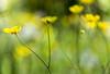 Vanishing present (manuel_togni) Tags: fiore flowers yellow green d3100 garden present future pace peace silence silenzio calma calm fiori calmness macro erba grass explored