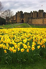 A moat of dafodills (WISEBUYS21) Tags: alnwick castle gardens daffodils yellow drawbridge gatehouse harry potter hotspur percy family dark knight transformers overcast flowers landscape landscaped northumberland northumbria northeastofengland black adder golden portrait aln arrows favourite faves tower henrythe v hamlet king duke earl april newcastleupontyne old park panorama river sony wisebuys21 keep money stormy storm sky skies skyline trees ramparts flying flag cold