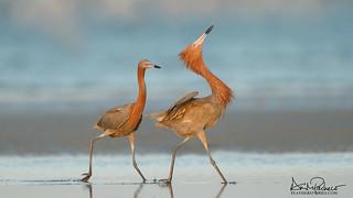 courting reddish egrets