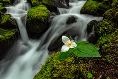 Rites of Spring (chasingthelight10) Tags: rivers landscapes travel events photography forests waterfalls places washingtonstate olympicnationalpark solduc solducriver otherkeywords river riparianhabitat