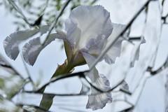 DSC_1931 (griecocathy) Tags: reflet miroir macro fleur iris tiges pétale étamines ciel vert blanc jaune violet grieco cathy