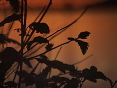 Sunset Silhouette on the Sound (Anne Abscission) Tags: everett washington portgardnerbay pugetsound waterfront everettwaterfront everettsunsets pnwsunsets pnwspring goldenglow orange evening sunset harbor water silhouette sunsetsilhouette plants olympuspenep1 olympusep1 mzuiko 40150mm micro43 m43 mirrorless naturephotography