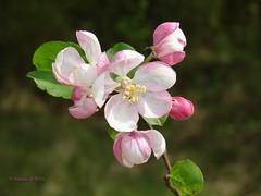 Fleurs de pommier (Annelise LE BIAN) Tags: fleursetplantes rose alsacechampagneardennelorraine france fr pommier explore alittlebeauty coth coth5 damn sunshine