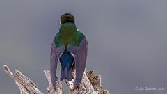 Violet-green Swallow (Bob Gunderson) Tags: birds california northerncalifornia ranchosanantonio santaclaracounty southbay swallows tachycinetathalassina violetgreenswallow coth coth5
