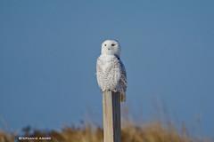 Snowy Owl (Amore_Photography) Tags: snowyowl owl bird birdwatching nature wildlife nikon photography nyc snow pretty rare explore outdoors beach