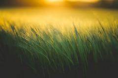 Bright Side (der_peste (on/off)) Tags: sun sunlight field wheat ears spikes summer warm warmth moody mood bokeh dof blur depthoffield feeling