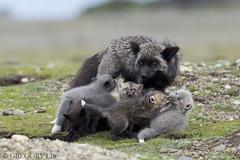 Fox Family (Gregory Lis) Tags: fox foxfamily vulpesvulpes grzegorzlis gregorylis gorylis nikond810 nikon silverfox