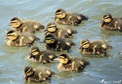 Le gang des Canetons :o) (jean-daniel david) Tags: oiseau oiseaudeau caneton canard colvert eau lac lacdeneuchâtel nature gang réservenaturelle reflet yverdonlesbains volatile bébé