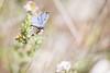 Argus bleu (Décl'ike) Tags: animaux argusbleu garrigue insecte macro natureetpaysages papillon printemps saisons
