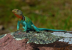 Eastern Collared Lizard (Crotaphytus collaris) (2ndPeter) Tags: easterncollaredlizard eastern collared lizard crotaphytus collaris crotaphytuscollaris glade igneous reptile blue orange green missouri ozarks mountain boomer herp herping peterpaplanus peter paplanus may 2018 spring nature wild wildlife creature critter male canonrebelt3i canon rebel t3i 100mm macro lens 100mmmacrolens