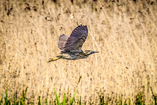 Bittern over the reed beds.