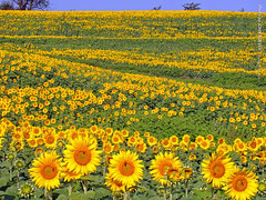 Sunflowers at Grinter Farms, 31 Aug 2017 (photography.by.ROEVER) Tags: grinterfarms sunflower sunflowers sunflowerfield sunflowerfields kansas leavenworthcounty landscape flower flowers wildflower wildflowers 2017 august august2017 morning bluesky blueskies color colour colors colours nature usa