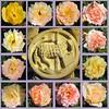 Christi Himmelfahrt 2018: Als vierzig Tag erschienen nach Christo Auferstehn (amras_de) Tags: rose rosen ruža rosa ruže rozo roos arrosa ruusut rós rózsa rože rozes rozen roser róza trandafir vrtnica rossläktet gül blüte blume flor cvijet kvet blomst flower floro õis lore kukka fleur bláth virág blóm fiore flos žiedas zieds bloem blome kwiat floare ciuri flouer cvet blomma çiçek lamm anyell lamb cordero arkume agneau lam