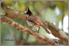 7859 - red whiskered bulbul (chandrasekaran a 50 lakhs views Thanks to all.) Tags: bulbul birds nature india kerala wayanad canoneos6dmarkii tamronsp150600mmg2 redwhiskeredbulbul