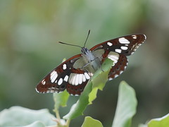 Southern White Admiral from below (dougskik) Tags: butterfly white admiral lepidoptera france wildlife insect butorides limenitis reducta southern