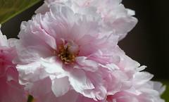 Cherry blossom (Violet aka vbd) Tags: pentax k3 vbd hdpentaxda55300mmf4563edplmwrre ct connecticut flower pink newengland cherryblossom 2018 spring2018 handheld manualexposure trumbull